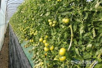 팜한농 '태광배추' '탐스런토마토' 농가들 호평