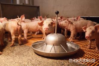 """한돈협회 """"농가대책없이 일괄 살처분 반대"""""""