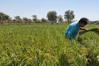 국내 기술력으로 UAE 중동사막에서 '쌀 수확'