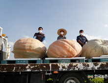 초대형 '슈퍼호박' 465kg 수확...국내 기록 화제