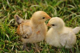 조류인플루엔자 예방, 닭‧오리 '방사 사육' 금지