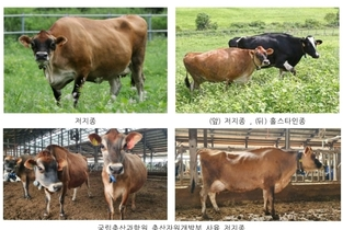 젖소 '저지종' 품종 낙농산업 활성화에 박차